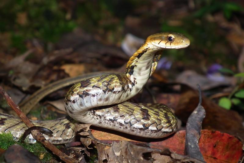 模仿眼鏡蛇的史丹吉氏斜鱗蛇,此動作只用來自保的。