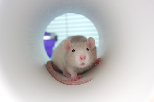 Marshmallow in his PVC pipe