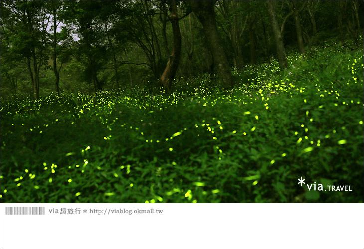 【台中螢火蟲】東勢林場螢火蟲~賞螢必遊!滿滿的螢火蟲閃爍夢幻光芒2