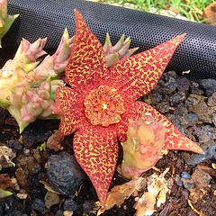 Huernia bloom3b