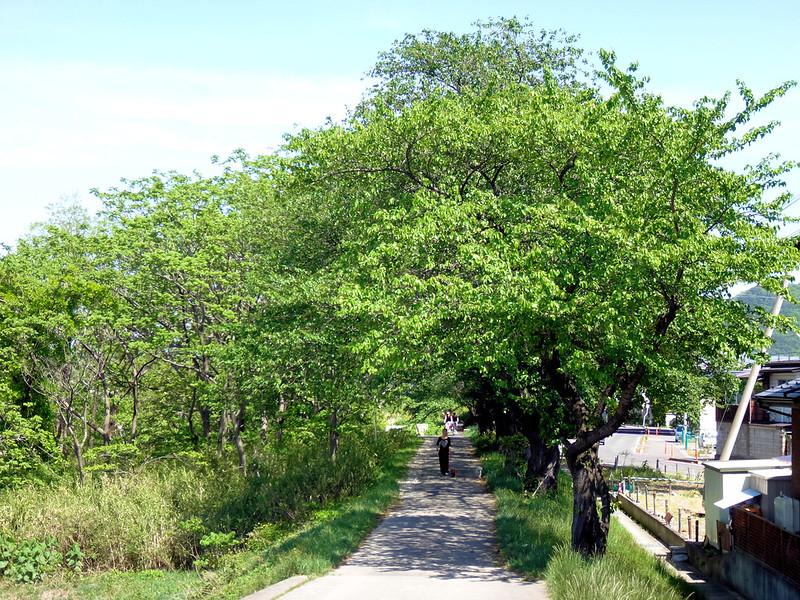 14511p1309桜のトンネルは緑のトンネルに