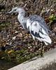 Little Blue Heron by Boganeer