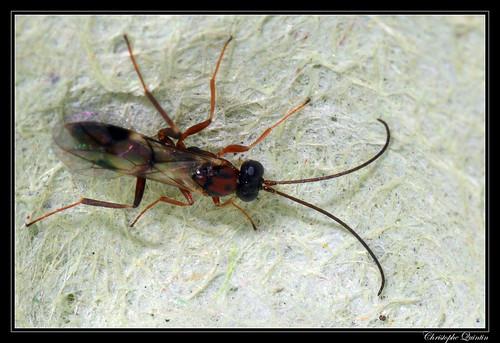 Ichneumonidae/Cryptinae (Gelis sp. ?)
