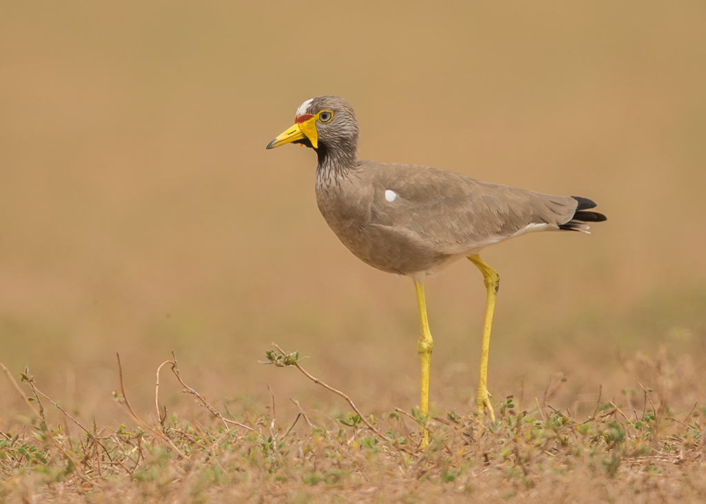 Wattled Plover Gambia
