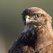 Handsome Wild Buzzard by birdtracker