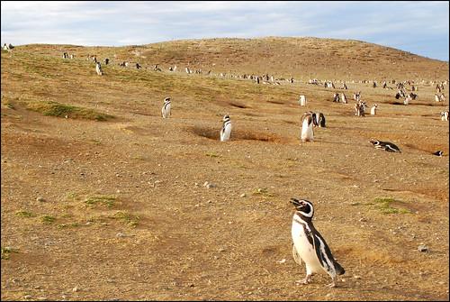 Pinguinos Magallánicos en la Isla Magdalena, Región de Magallanes y Antártica Chilena, Chile.