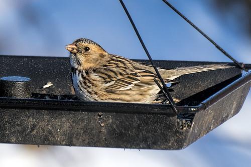 PA: Harris's Sparrow