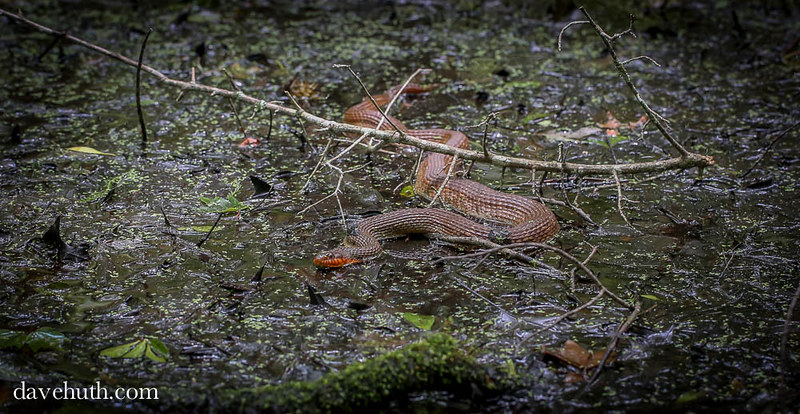 Red-bellied Watersnake (Nerodia erythrogaster) - swimming on swampy surface