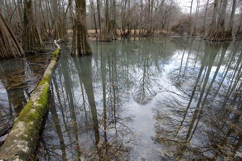 winter reflection tree water moss fallen trunk cupressaceae baldcypress taxodium winterreflections
