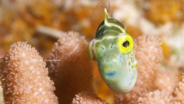 ノコギリハギ幼魚♪