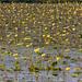 Yellow Lotus on Lake Ashby. (Flor de Loto en lago). by Samuel Santiago