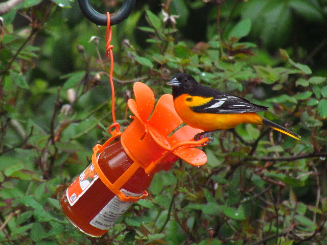 Baltimore Oriole1 5:9:13