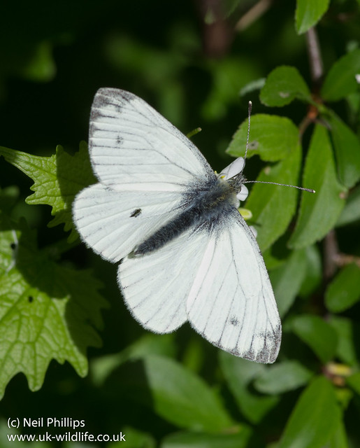 Green veined white Pieris napi 2