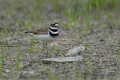 Killdeer-45165.jpg by Mully410 * Images
