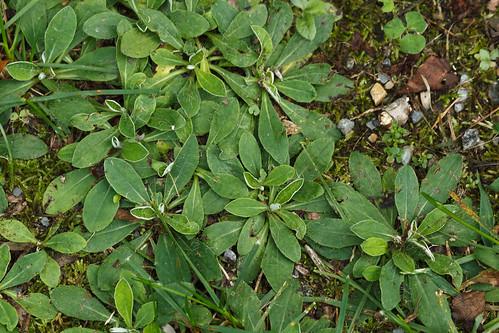 Hieracium ?pilosella (mouse-ear hawkweed), basal foliage
