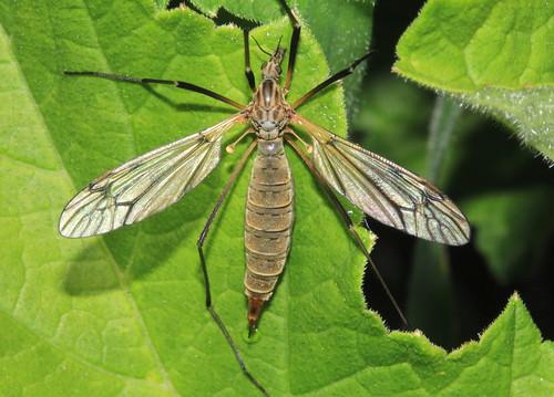 Tipula varipennis 17650
