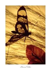 Coleção: Geniflora