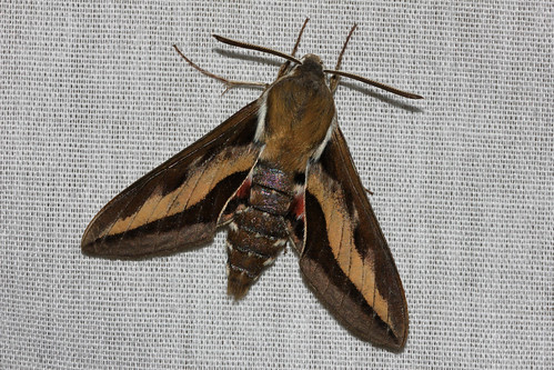 Hyles gallii (Bedstraw Hawk Moth) Hodges # 7893