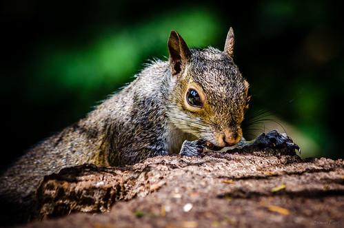 Squirrel (Explored Aug 4, 2013)
