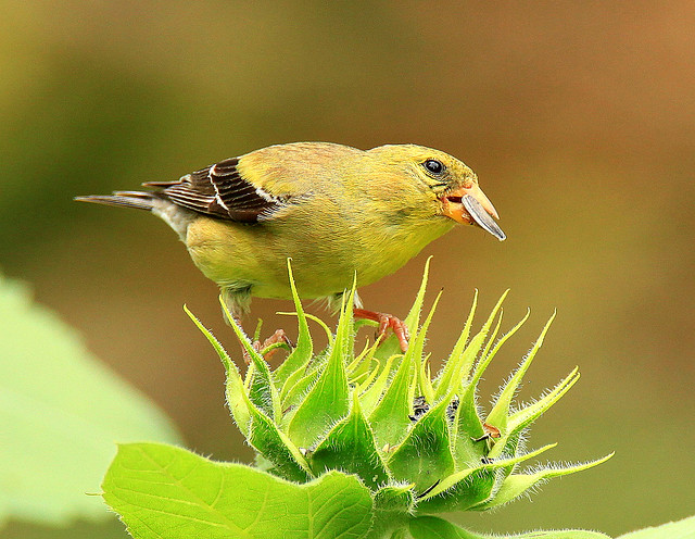 Goldfinch Table