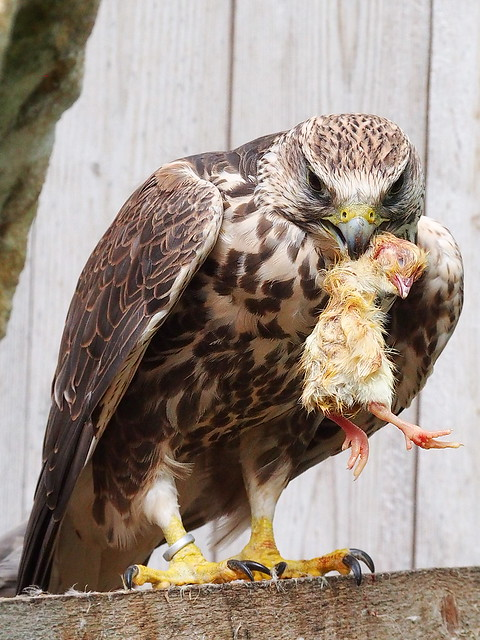 Falke beim Dinner - Falcon / Hawk at dinner