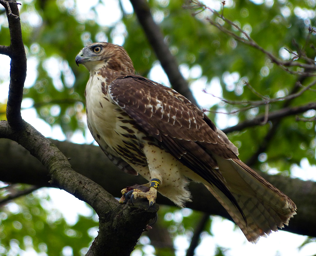Tagged hawk with rat