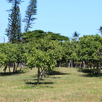 Cordia subcordata plantation