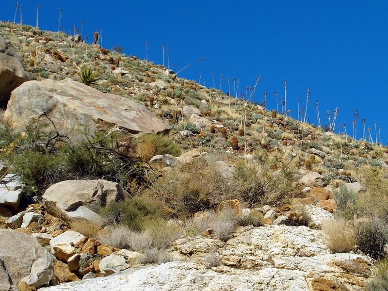 Mammillaria dioica in the desert 10415809976_889c2b730e_c