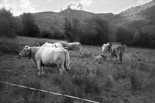 Vacas en Valgañón - f.09