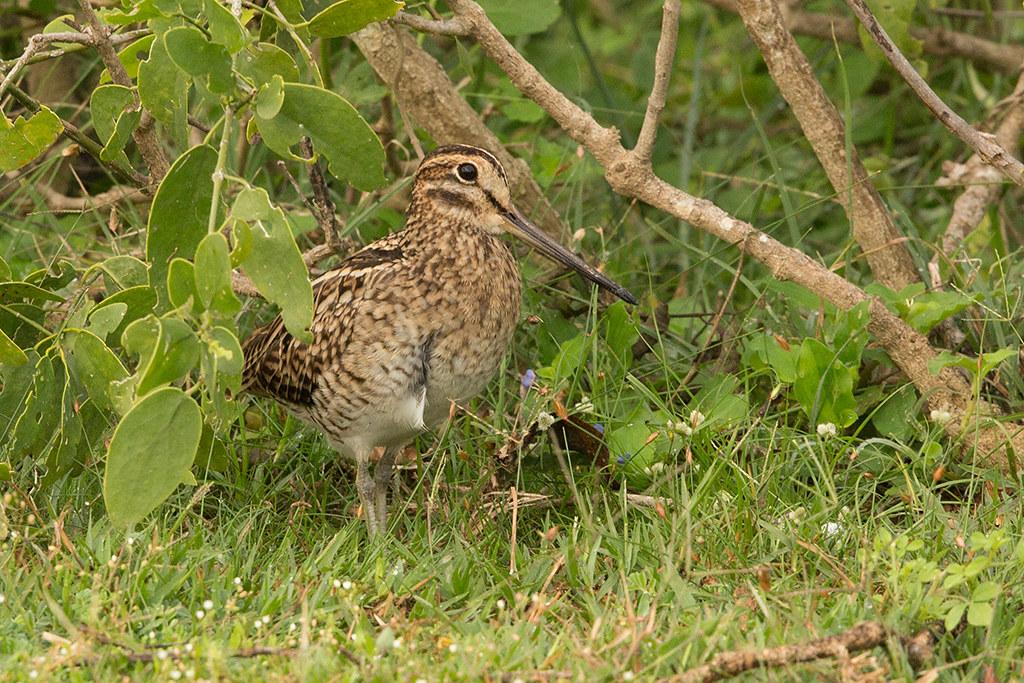 Pintailed Snipe Sri Lanka 2013-11-29