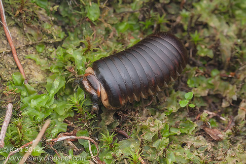 Pill millipede IMG_5039 copy