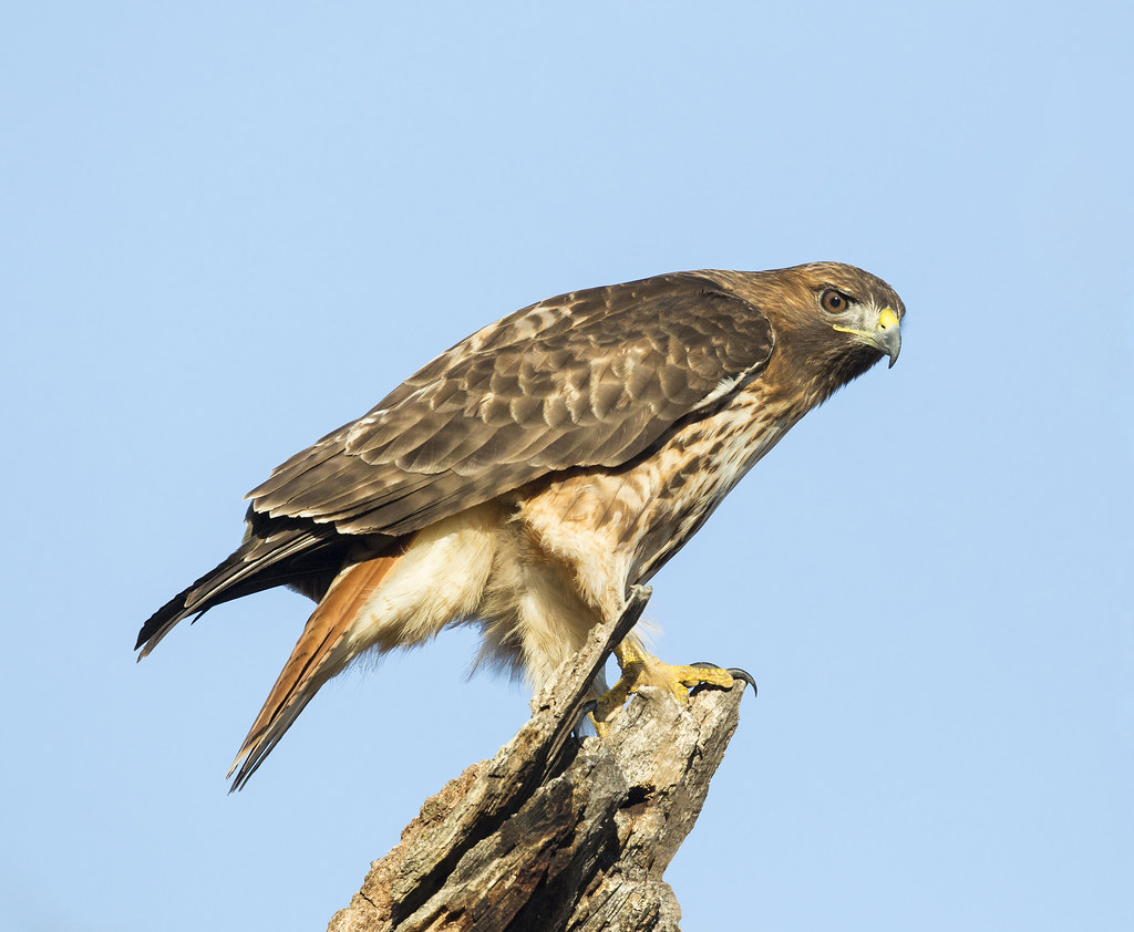Red Tailed Hawk - Coyote Valley Open Space Preserve