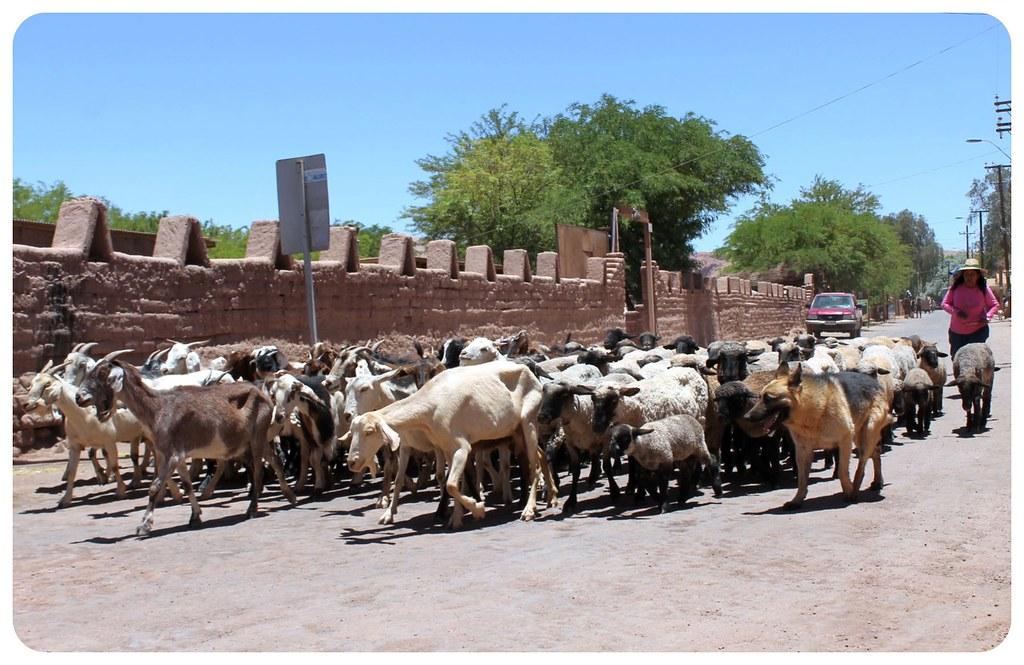 san pedro de atacama goats