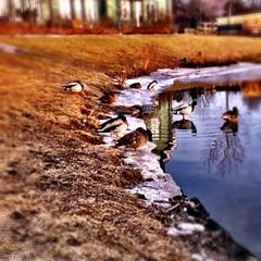 Aamu uinnilla/unilla. #ducks #pond #water #snow #ice #spring #swimming #sleeping #sunny #relaxing