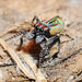 Maratus volans - senior citizen by beeater