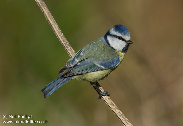 blue tit best