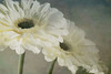 Gerbera by Kate Ryan Fine Art Photography
