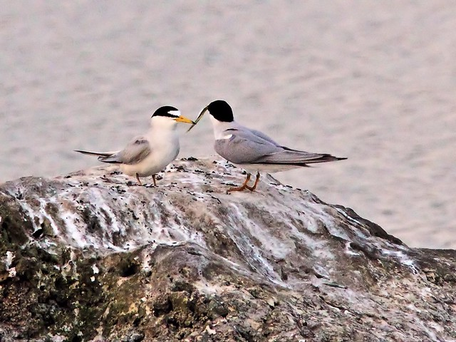 Least Tern female refuses fish from intruder male 27- 20140428