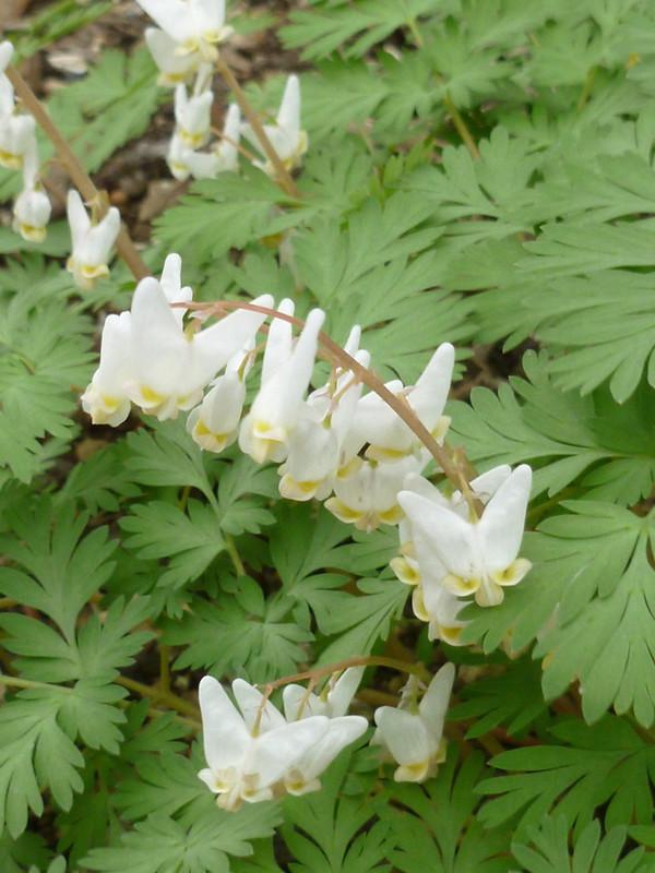 A wild flower known as Dutchman's Breeches