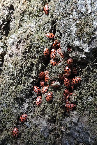 Coleomegilla maculata
