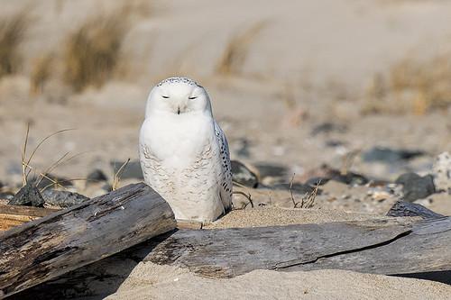 NY: FOY Snowy Owl