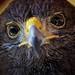 Harris's hawk (Parabuteo unicinctus) (Close-up) by Abariltur