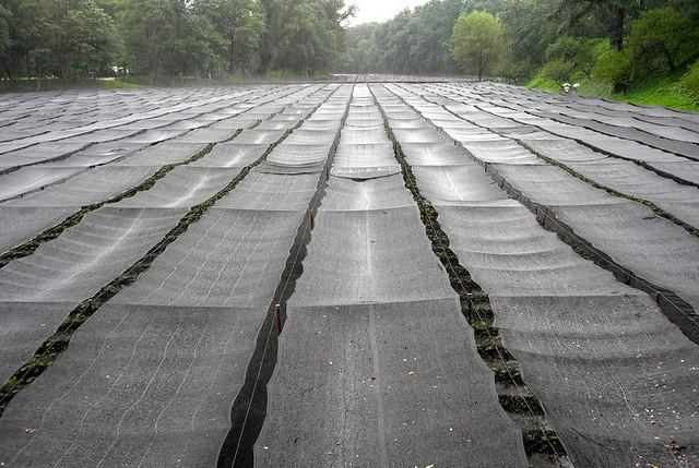 Wasabi Nhật Bản - giống cây khó trồng nhất thế giới