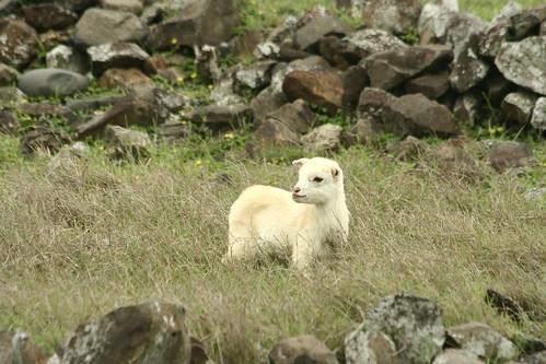 東嶼坪上,傻傻的羊羊;攝影:周昭蕊
