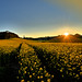 Sunset in the Rape Field - Sonnenuntergang im Rapsfeld