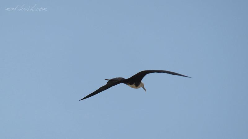 Fregatebird (Fregata magnificens) Zipolite, Oaxaca