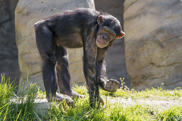Chimp with something in the hand