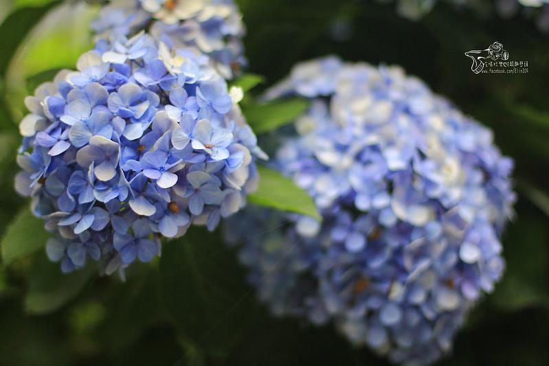 繡球花 (10)
