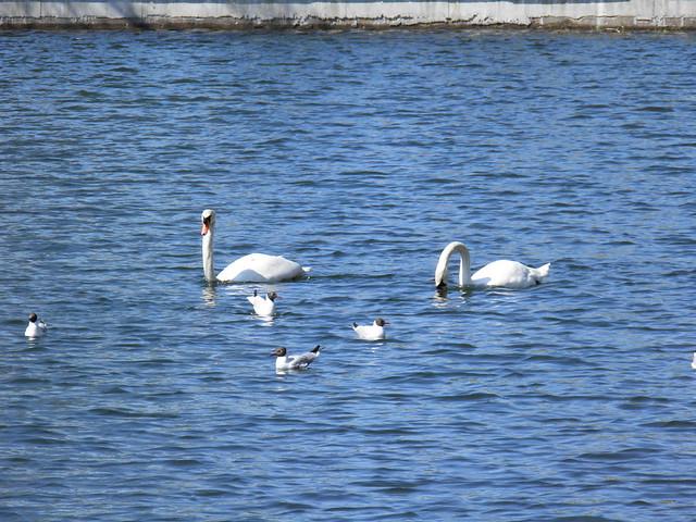 Лебеди и чайки // Swan and gulls