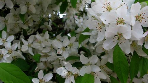 Chokecherry tree blossoms by Coyoty